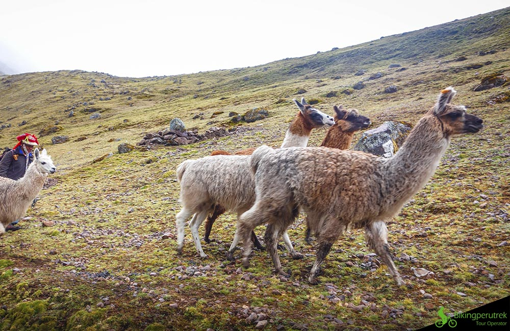 Llamas Peru wilelife mountain biking peru